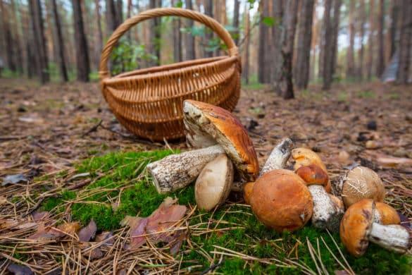 10 conselhos para apanhar cogumelos silvestres