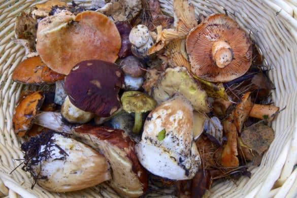 Na serra da Gardunha o outono rima com cogumelos