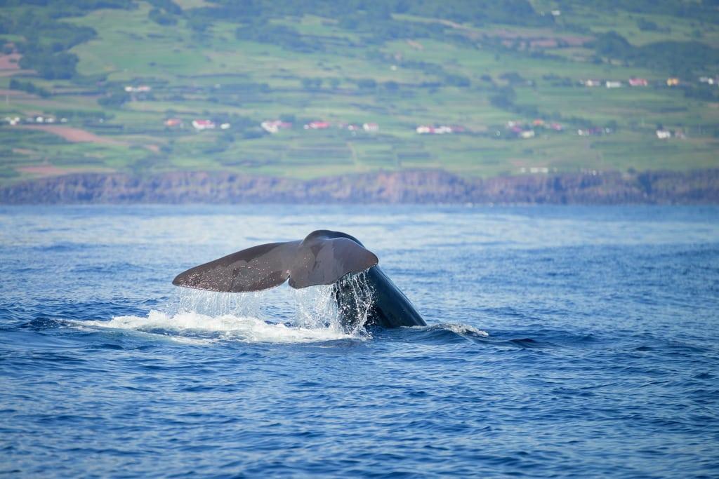 Baleia Açores